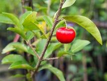 Cherry Hanging op de Boom stock fotografie