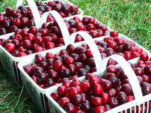 Cherry Harvest. White baskets filled with fresh sweet cherries stock photos