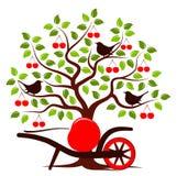 Cherry harvest Stock Photo