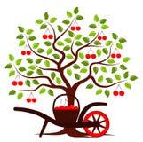 Cherry harvest Royalty Free Stock Image