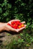 Cherry harvesting Stock Images