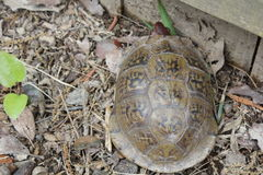 Cherry headed red footed tortoise. Geochelone carbonaria. Young cherry headed red footed tortoise. Native Brazil, South America. Small tortoise Royalty Free Stock Images