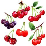 Cherry wild fruit in a watercolor style isolated. Cherry healthy food in a watercolor style isolated. Full name of the fruit: cherry. Aquarelle wild fruit for Stock Photo