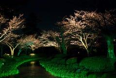 cherry japońska Sakura noc Zdjęcie Stock