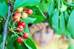 Cherry and kid. A kid is trying to pick up the cherry from the tree Royalty Free Stock Images