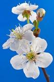 cherry kwiat Zdjęcie Stock