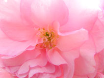cherry kwiat makro Zdjęcia Royalty Free