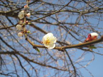 cherry kwitnąca Obraz Stock