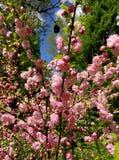 cherry kwitnąca Obraz Royalty Free