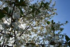 cherry kwitnąca Zdjęcia Stock
