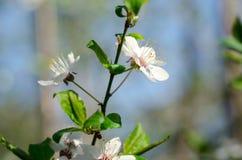 cherry kwitnąca Zdjęcia Royalty Free