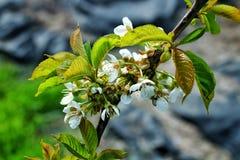 cherry kwitnąca Fotografia Stock