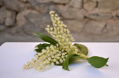 Cherry laurel branch Royalty Free Stock Photography