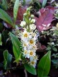 Cherry Laurel Flower Imagem de Stock Royalty Free