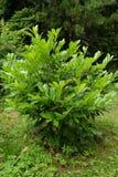 Cherry laurel medicinal (Laurocerasus officinalis M. Roem.). Grows in a garden Stock Image