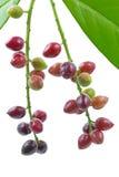 Cherry laurel (Prunus laurocerasus), fruits Royalty Free Stock Image
