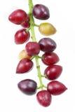 Cherry laurel (Prunus laurocerasus), fruits Stock Photos