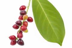 Cherry laurel (Prunus laurocerasus), fruits Stock Photography