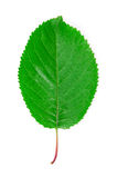 Cherry leaf. Royalty Free Stock Photo