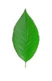 Cherry leaf. Royalty Free Stock Image