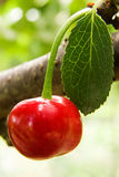 Cherry with leaf. Cherry object in natural place Royalty Free Stock Image