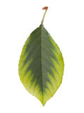 Cherry leaf Stock Photo