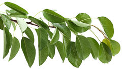 Cherry leaf Royalty Free Stock Image