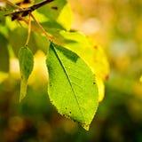 Cherry leaf closeup Stock Image