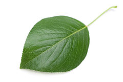 Cherry leaf Stock Photos