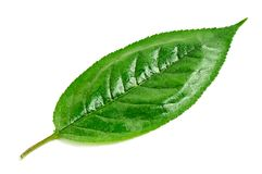 Cherry leaf Royalty Free Stock Photos