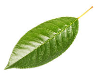 Cherry leaf Royalty Free Stock Photos