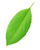 Cherry leaf isolated on a white Royalty Free Stock Image