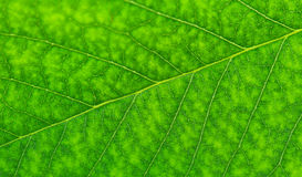 Cherry leaf texture Stock Photography
