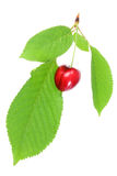 Cherry with leafs. Royalty Free Stock Image