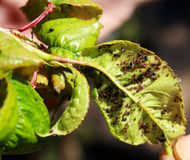 Cherry leaves affected by aphids. Insect pests on the plant Royalty Free Stock Photos