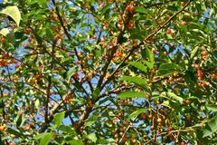 Cherry leaves and branches in closeup royalty free stock photos