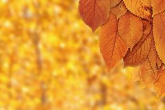 Cherry leaves over forest background Royalty Free Stock Photos