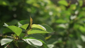 Cherry leaves swaying in the wind stock video footage