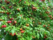 cherry śliwki Zdjęcia Stock
