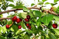 Cherry många Royaltyfri Foto