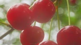 Cherry macro in nature stock video