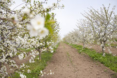 Cherry meadow Royalty Free Stock Photography