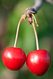 Cherry mogna två Royaltyfria Foton