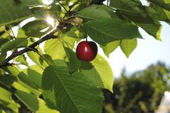 Cherry in my garden Stock Photography