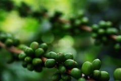 Branch with unripe fruits of the coffe tree. Coffee plantations in Quindio - Buenavista stock photo