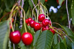 Cherry. Natural ncherry tree with leaves Stock Image