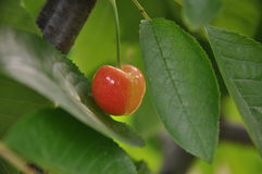 Cherry. Nice cherry and leaves royalty free stock image