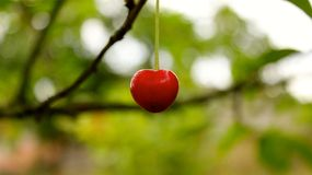 Cherry. Nice single cherry to be used with your marketing, business, family, graphics, design stuff Royalty Free Stock Photo