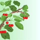 Cherry old branch vector Royalty Free Stock Images
