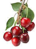 Cherry On Branch Royalty Free Stock Images